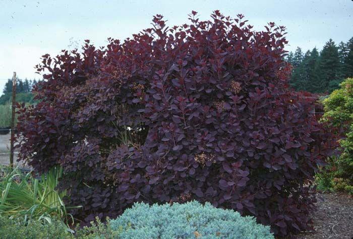 Royal Purple Smoke Bush Alternative To The Hopseed For