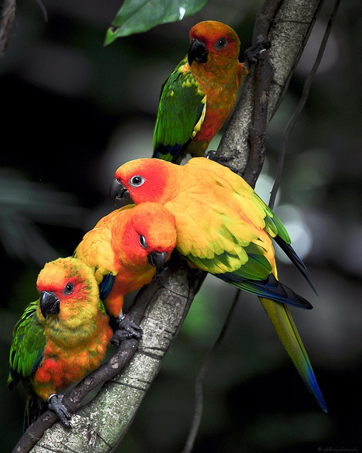 Sun and Jenday conures (parrots)