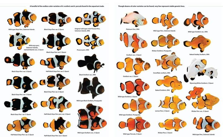 diagram showing the different strains of clownfish that have been ...