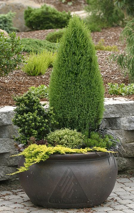 I would love a conifer container for the backyard.