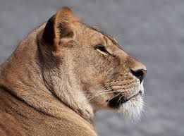 Image result for angry lion face profile