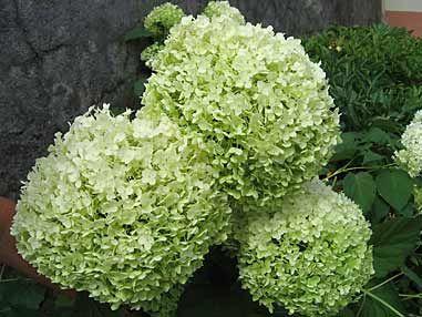 Hydrangea arborescens 'Annabelle' - Arrosoirs et Sécateurs