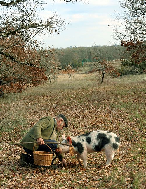Man and his truffle-hunting pig