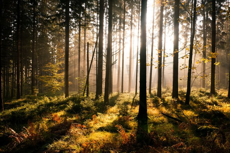 Fall Forest with Sunrays - Fototapeter & Tapeter - Photowall