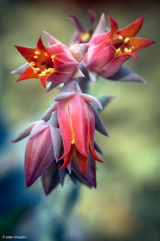 Echeveria, a flowering succulent native to Mexico and South America but easy to grow in warm areas of the garden