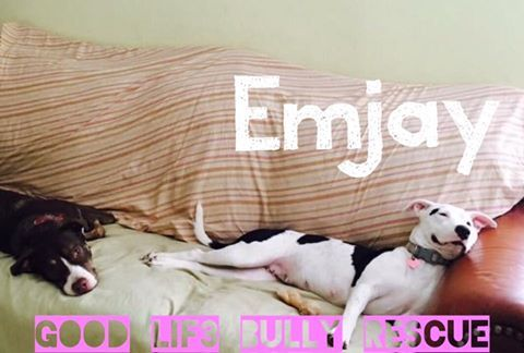 08/28/16-HOUSTON, TX - Good Lif3 Bully Rescue August 26 at 4:02pm ·  MEET EMJAY! Our sweet girl Emjay chillin with her foster brother Chulo. This couch potato is so affectionate and fun! She loves zooming around the yard with her foster bro playing and chasing, she also loves her humans and gives nothing but love! We rescued Emjay back in January where we found her alone, tossed like trash on an abandoned construction site. Her mammary glands were still full with milk and we knew she had…