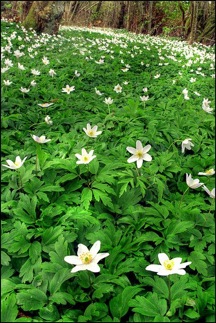 "wood anemone. ""Vitsippa"", this is what all the clearings look like in spring in Sweden.."