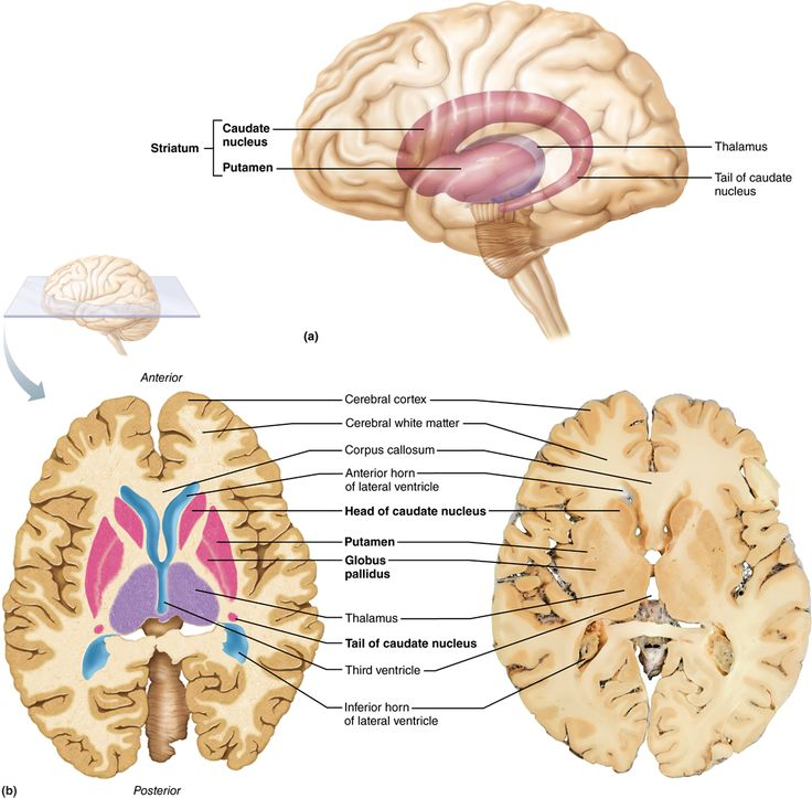 12 2 The Cerebral Hemispheres Consist Of Cortex  White Matter  And The Basal Nuclei