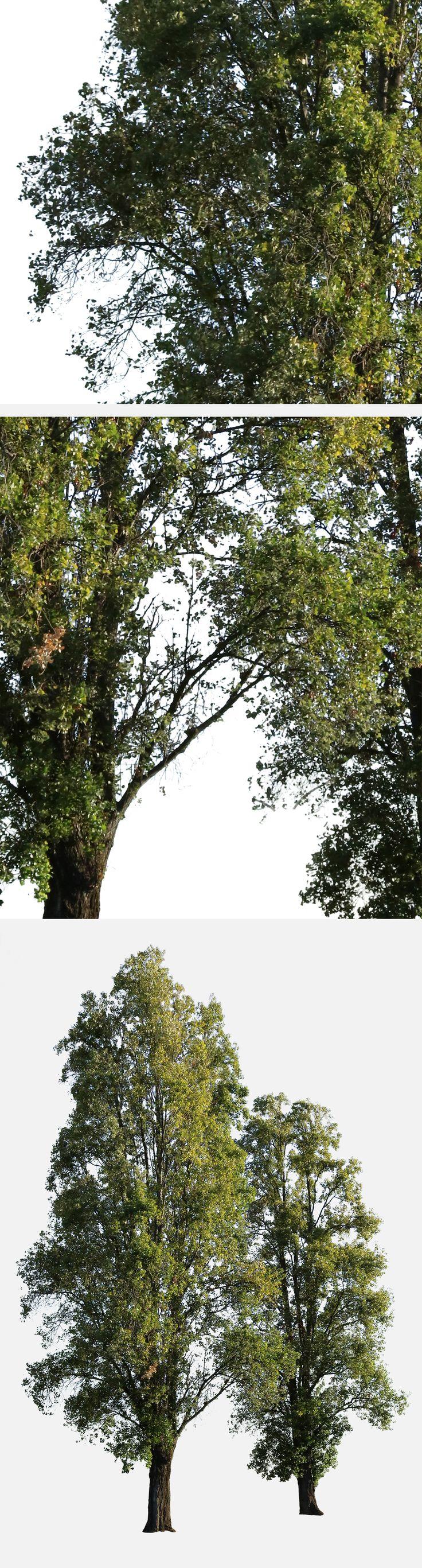 3472 x 4990 Pixels. PNG, with transparent background. Cutout photo of black poplar tree group. Populus nigra En: Black poplar; Fr: Peuplier; Pt: Choupo negro; Es: Álamo negro; It: Pioppo nero; De: Schwarz-Pappel.