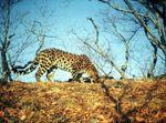 Amur Leopard Pictures