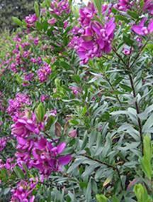 polygala myrtifolia Famille : Polygalacées Type : Arbuste buissonant Hauteur : 0,5 à 2 m Exposition : Ensoleillée Sol : Ordinaire Feuillage : Persistant Floraison : Mars à novembre résistance au gel jusqu'à -7°C, le ++ c'est de la rentrer