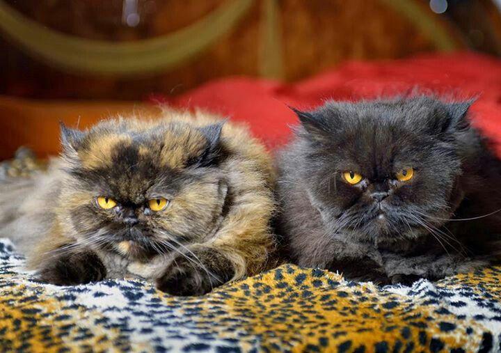 fluffy calico cat - photo #20
