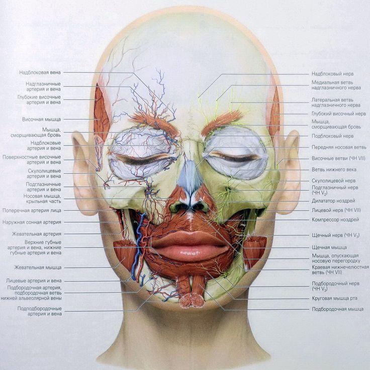 Топография глубоких артерий и вен (правая половина) и нервов лица (левая половина) по отношению к глубоким мимическим мышцам. #EstPortal #эстетическийПортал #анатомия