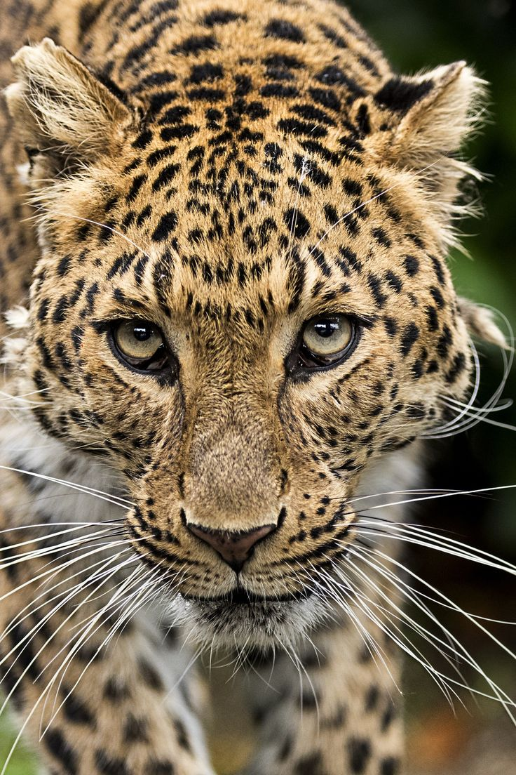 Absolutely Gorgeous North Chinese (Amur) Leopard - The Amur leopard is a leopard subspecies native to the Primorye region of southeastern Russia and the Jilin Province of northeast China. It is classified as Critically Endangered since 1996 by IUCN.