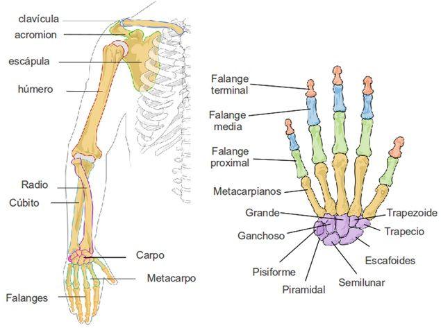 Principales huesos del brazo y mano.