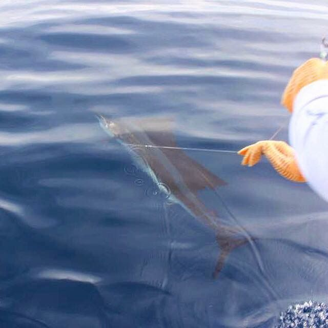 One of the 10 Sailfish caught by Jane & Ana aboard GOOD DAY out of Quepos Costa Rica! #jackpotsportfishing #fishingincostarica
