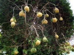 Image result for african weaving birds nest