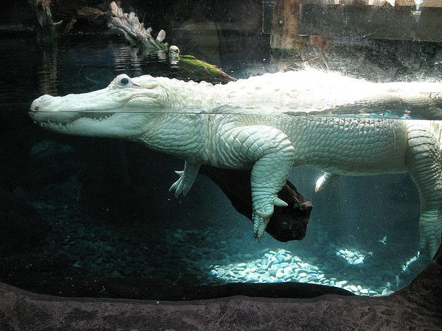 Albino crocodiles make me think about albino dinosaurs, which would be pretty sweet!