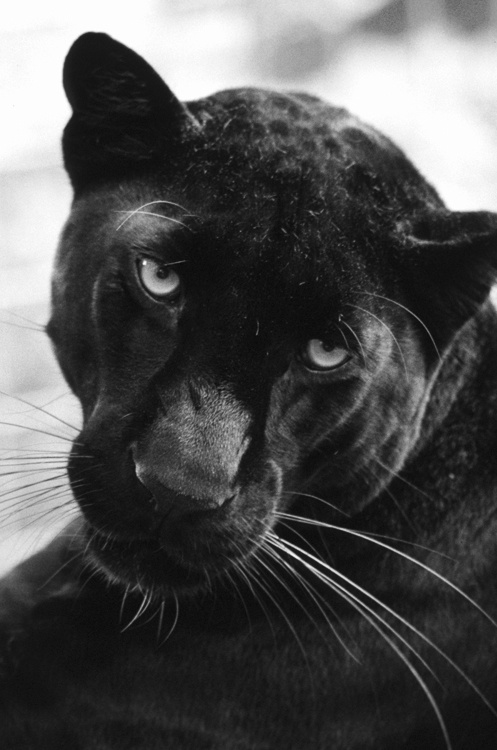 this is what i would be if i was an animal !! Black Pantha !!!