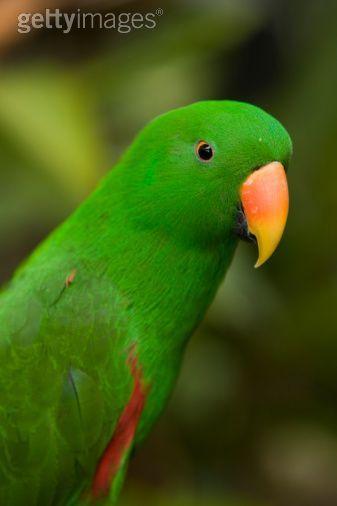 Male Eclectus Parrot. Jurong Bird Park, Singapore.