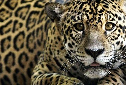 Beautiful!Jaguar,  Panthers, Big Cat, Kitty Cat, Cheetahs Bigcats, Guest Bathroom, Thankscheetah Bigcats, Animal, Big Kitty