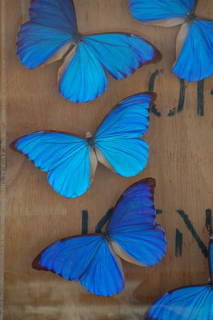 mariposas azules las amo! Podria ser una de ellas SM