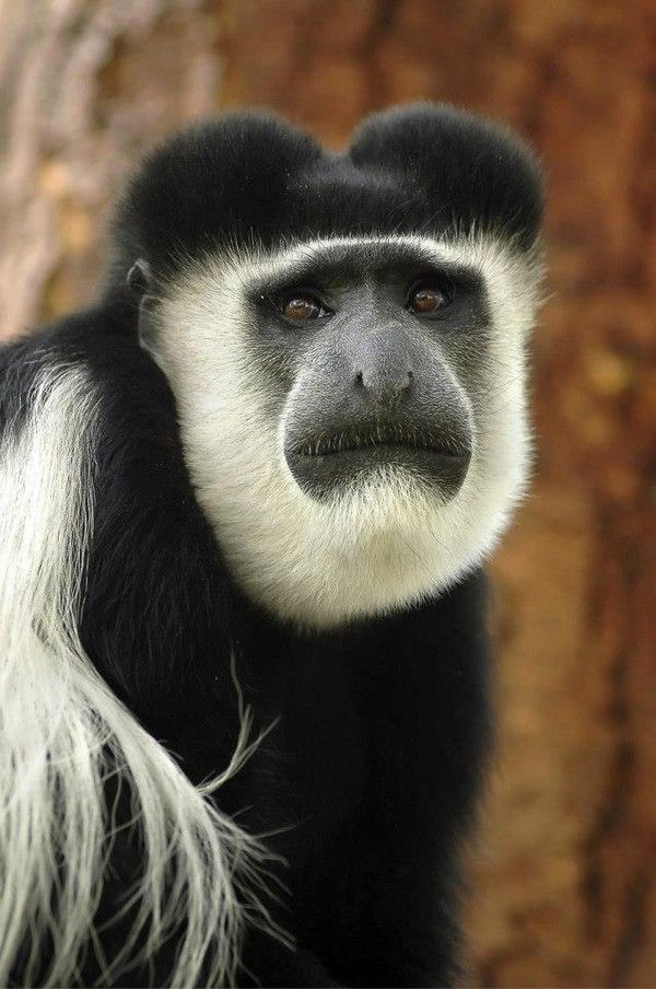 Black and white colobus monkey | herbivores, eating leaves, fruit, flowers, and twigs | wikipedia
