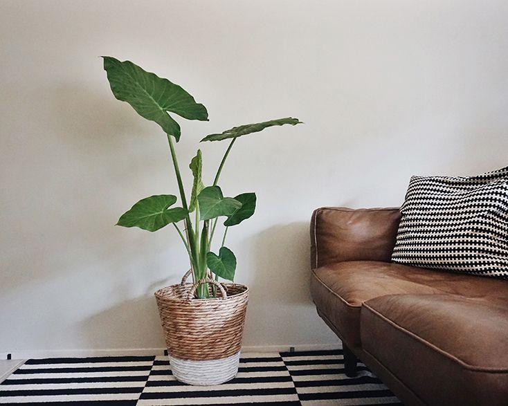 My Favourite Indoor Plants | Permanent Procrastination - Elephant Ear Plant