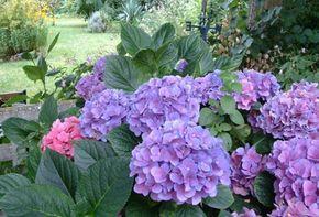 Cultivo de Hortensias rosas y azules. - La Hortensia rosa y Hortensia azul son plantas arbustivas apreciadas por su prolongada exhibición de flores durante el verano y las primeras semanas del otoño. Lo primero que hay que tener en cuenta al cultivar hortensias es que estas plantas requieren un suelo ácido