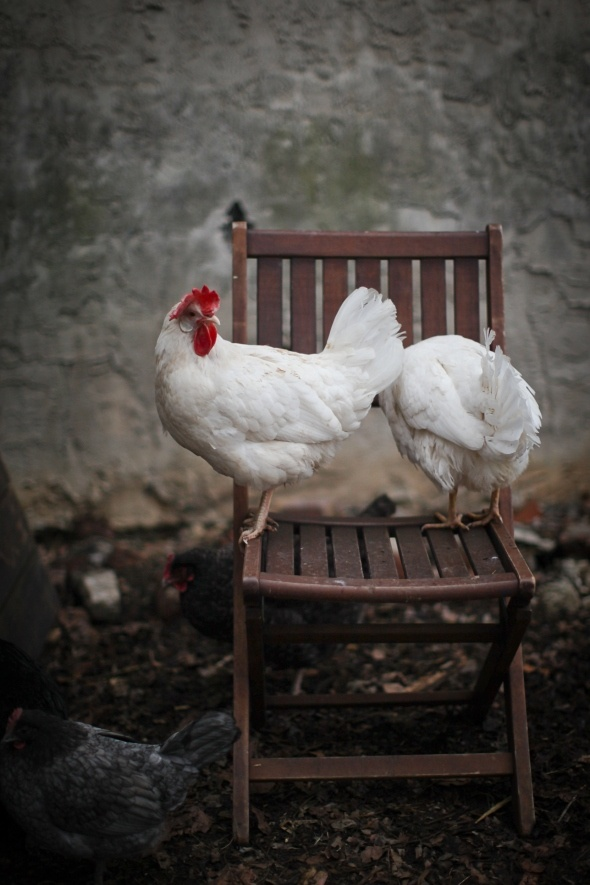 """What exactly are you looking for back there??"" Leghorns on a chair photo"