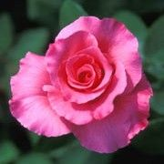 'McCartney Rose' is a hybrid tea rose with double, mid-pink scented flowers in summer and autumn. Rosa 'McCartney Rose' added by Shoot)