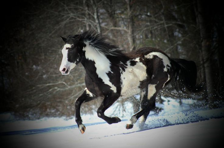 paint horse galloping in snow | Cute Critters | Pinterest