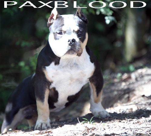 BOOM PAXBLOOD XTREME BULLY 5.5 MESES Paxblood o Forte Cão Amigo da Família. American Bully Correto, Muito Forte e Definido.