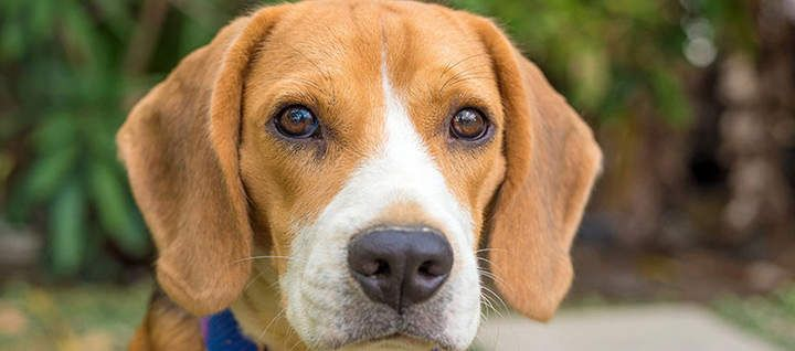 Beagle Dog Breed Beagle Dog Breed Beagle Dog Dogs