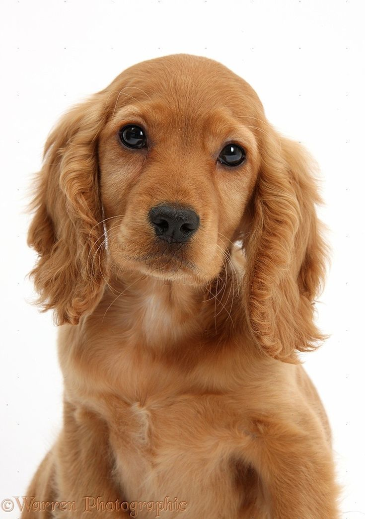 Dog: Golden Cocker Spaniel puppy photo - WP37260