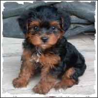 Yorkie Poodle... aka Yorkipoo.... I WANT one! but I heard they bark a lot :(