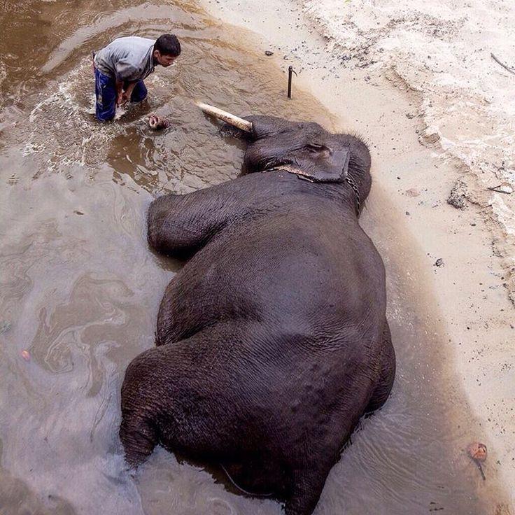 """Foto oleh @yunaidijoepoet. Sion Nainggolan memandikan Bakin, gajah berusia 35 tahun yang merupakan penghuni PLG Minas, Senin (27/7). Berkurangnya habitat…"""