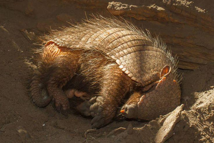 Armadillo : Armadillo da uykucu bir hayvan ve bu uykuculuğu onu en tembel hayvanlar listesine dâhil etmemizi sağlıyor. Günün 19 saatini uykuda geçiren armadilloların neden bu kadar çok uyuduğu hâlâ bilim insanları için bir merak konusu olmayı sürdürüyor.