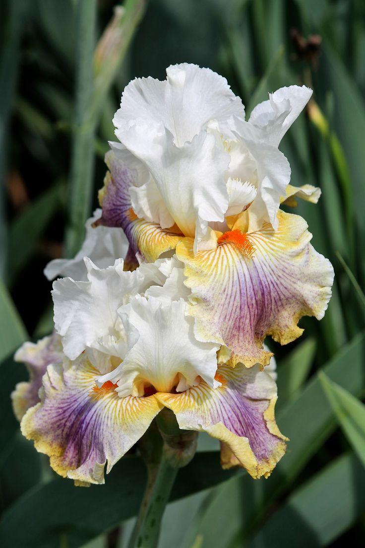 TB Iris germanica 'Fantasy Ride' (Duncan, 2009)