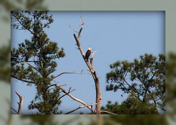 Living In Williamsburg, Virginia: Bald Eagle On The York River, Colonial Parkway, Williamsburg, Virginia