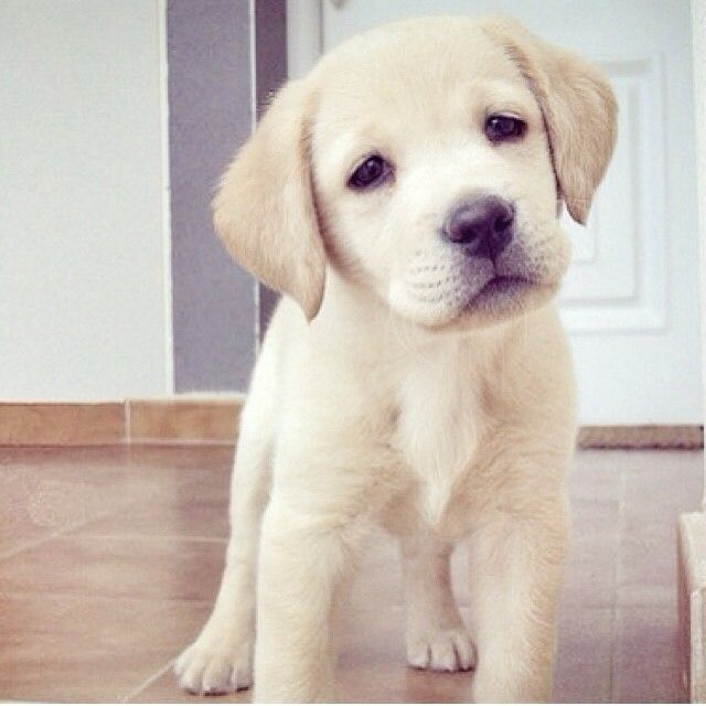 So cute loveeeee yellow labs and love those sad lab eyes! Nothing like them!