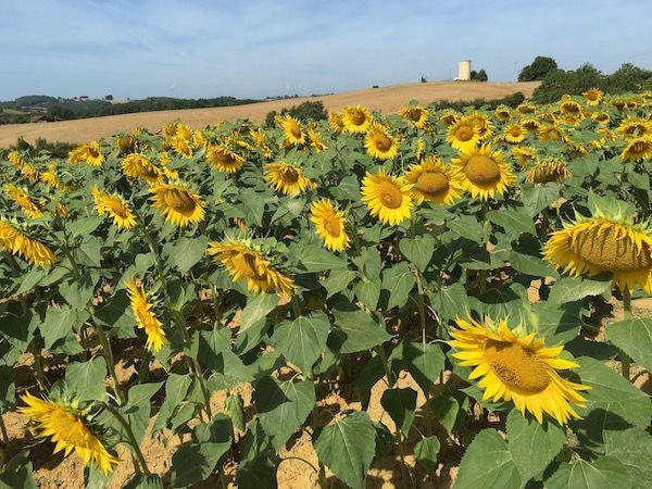 sunflower-field-in-gers