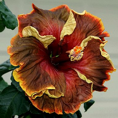 Voodoo Magic hibiscus