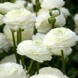 Gorgeous white ranunculus