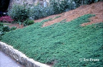 Juniperus Horizontalis Wiltonii Common Name Blue Rug
