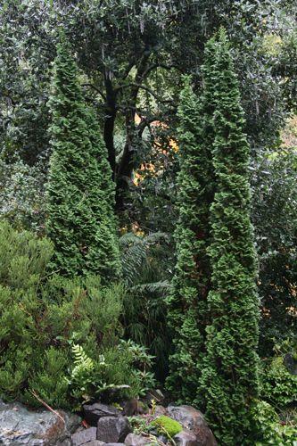 The 25 Best Thuja Occidentalis Ideas On Pinterest Blue Arrow Juniper Thuja Emerald Green And