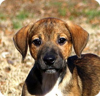 Glastonbury, CT - Boxer/Hound (Unknown Type) Mix. Meet Haven, a puppy for adoption. http://www.adoptapet.com/pet/17309391-glastonbury-connecticut-boxer-mix
