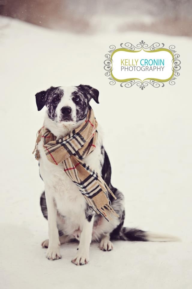 www.kellycronin.com Burberry Scarf Dog in the snow Blue Merle Short Haired Border Collie