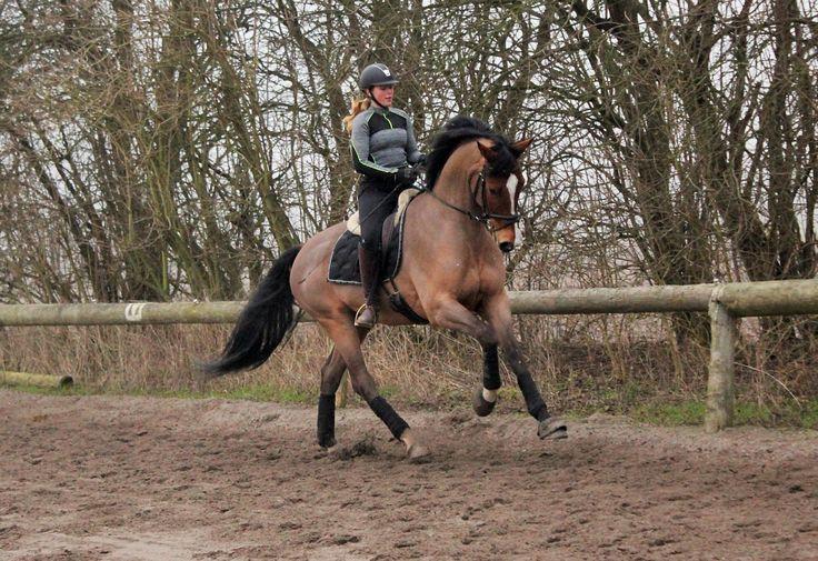 Heste under uddannelse   Holfelt stutteri – hestesalg, opdræftning og træning til privat og erhverv #ridning #heste #springhest #danskhest #danskvarmblod
