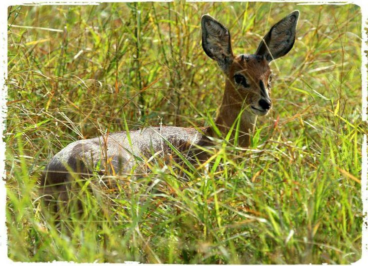 Steenbokkie